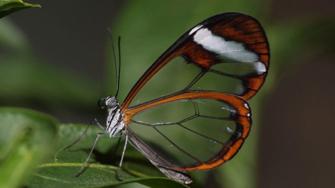 Butterfly wings transparent